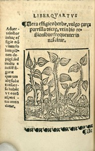 "Woodcut engraving of Smilax aspera from ""Opera Medicinalia."""